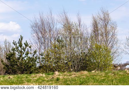 Low Angle View Of Line Of Partly Leafless Trees At Early Spring Day. Birches And Small Pine Trees Wi
