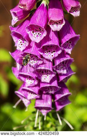 Digitalis Purpurea Or Foxglove Deep Pink Flowers Blooming Close Up
