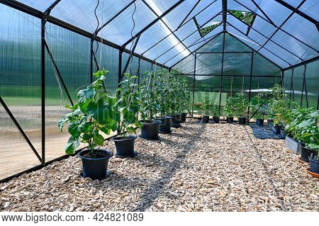 Pots With Tomato Plants In Big Greenhouse
