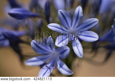 Explosion Of Agapanthus Flowers And Buds. Bokeh Effect, Details In Focus. Detail Of The Pistils