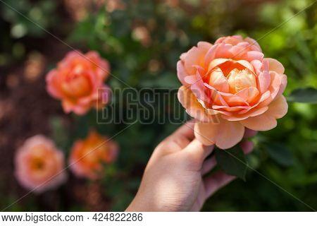 Orange Salmon Rose Lady Of Shalott Blooming In Summer Garden. English David Austin Selection Roses F