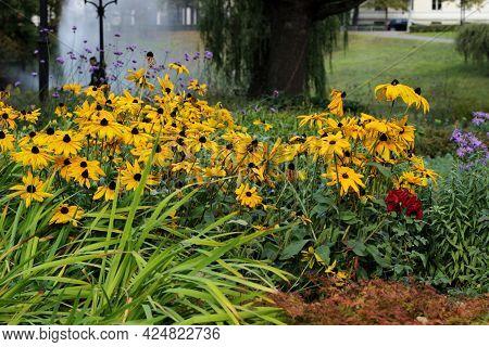 Orange Coneflower Blooming In Late Autumn. Perennial Coneflower (rudbeckia Fulgida) Flowers Blossomi
