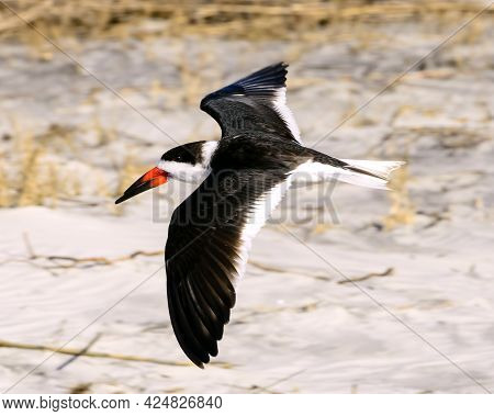 Black Skimmers Are A Common Sight Along The Golden Coast Of Georgia.  You Can See Them On The Barrie