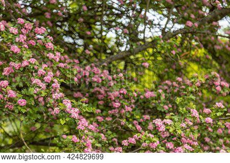 Crataegus Laevigata, Known As The Midland Hawthorn, English Hawthorn, Woodland Hawthorn Or Mayflower