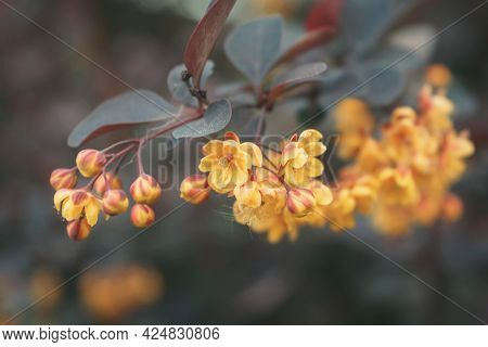 Yellow Flowers Of Barberry (berberis) Close Up On Gray-blue Background