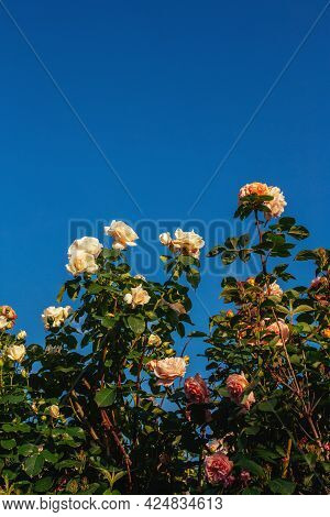Beautiful Roses In A Summer Garden. Amazing Blue Sky. Place For Text.