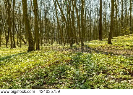 Sunny Early Springtime Forest With Lush Foliage And Semi-empty Trees With Sunrays Beaming From The S