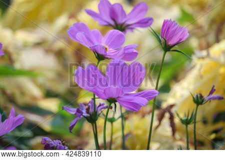 Cosmos Bipinnatus, Mexican Aster, Beautiful Garden Landscape, Colorful Flowers, Pink Flowers