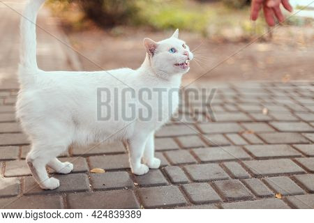 Kitten With Blue And Yellow Eyes Looks At The Camera On The Street. White Cat With Eyes Of Different