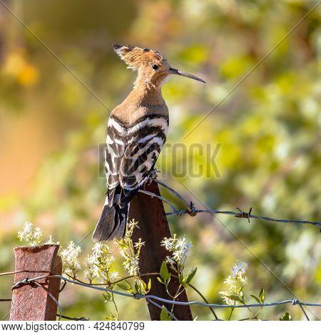 Eurasian Hoopoe (upupa Epops) Perched On Metal Pole In Natural Agricultural Landscape. Wildlife Scen