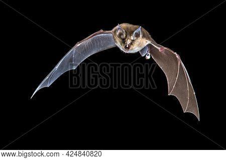Flying Greater Horseshoe Bat (rhinolophus Ferrumequinum) Isolated On Black Background. This Species