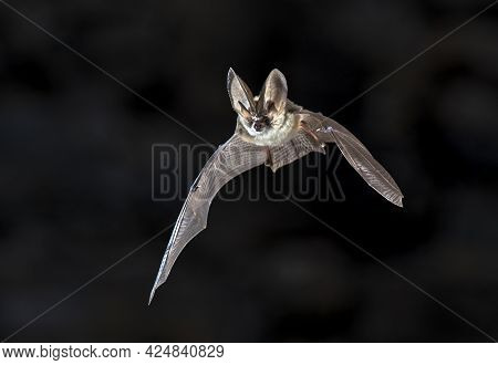 Flying Bat On Dark Background. The Grey Long-eared Bat (plecotus Austriacus) Is A Fairly Large Europ