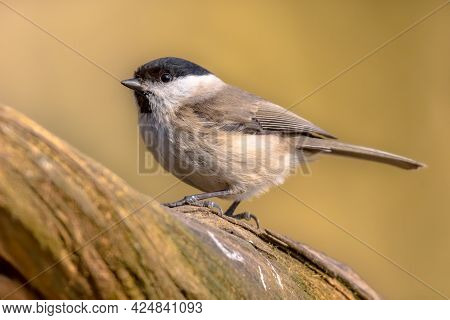 Willow Tit (poecile Montanus). Songbird Perched On Branch Against Blurred Colorful Background. Wildl