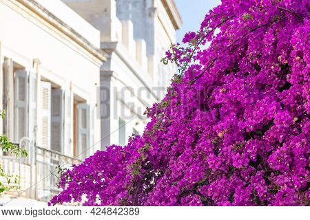 Bougainvillea With Purple Flowers At Ermoupolis Syros Island, Cyclades, Greece.