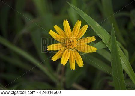 Macro Details Of Summer Sulfur Cosmos Flower.