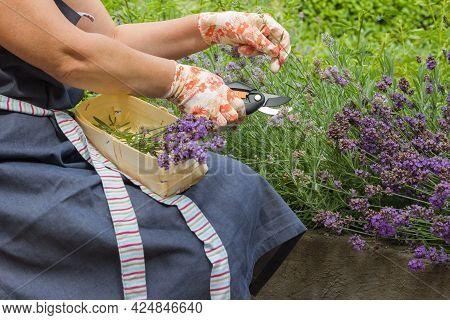 Female Hands In Gardening Gloves Hold A Pruner And Prune A Lavender Bush. Seasonal Gardening. Prunin