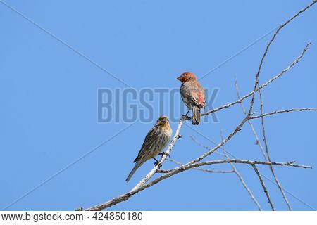 Two House Finch Birds Or Haemorhous Mexicanus Perched On Bare Tree Branches Against Blue Sky Showing