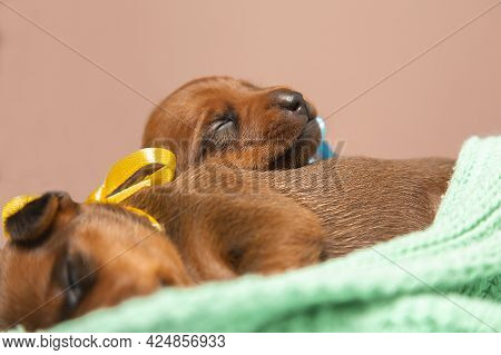 Two Small Newborn Puppies Lie On A Warm Knitted Blanket. Pygmy Pinscher Puppies Are Sleeping.