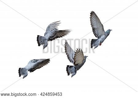 Movement Scene Of Group Of Rock Pigeons Flying In The Air Isolated On White Background With Clipping