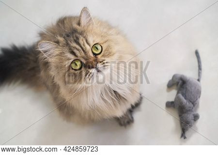 Top View Of Cute Happy British Longhair Chinchilla Persian Kitten Cat Standing Next Mouse Doll And L