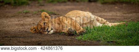 Panorama Of Sleepy Lion Cub Lying Down