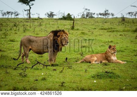 Male Lion Stands By Female Lying Down