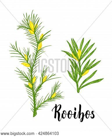 Rooibos Tea Plant, Leaf, Flower. Branch Of Rooibos Hand Drawn Color Sketch Illustration, Line Art. A