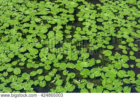 Water Lily. Water Lily Background, Texture. Pond Overgrown With Lilies. Top View Green Leaves Lotus