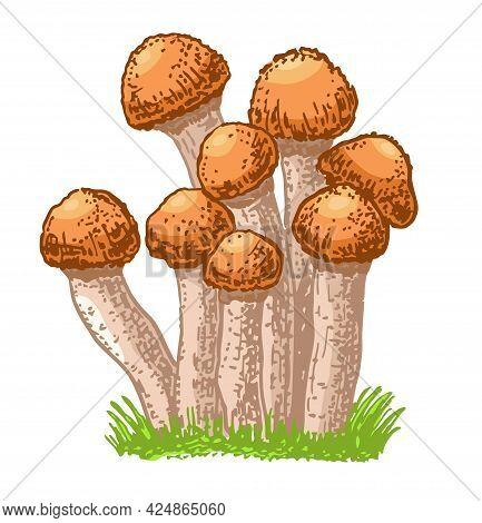 Edible Mushrooms Honey Agarics. Hand Drawn Armillaria Mellea Edible Fungus. Sketch Style Natural Org