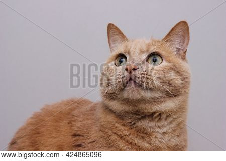 Portrait Of A Red Cat Looking Carefully Up On A Gray Background. Close Up.