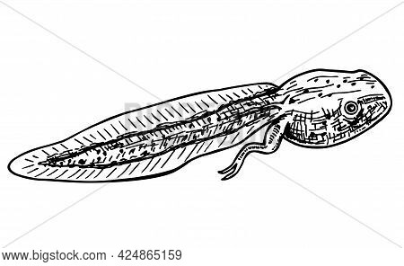 Frog S Tadpole Drawn In Sketch Style. Amphibian Toad S Polliwog. Aquatic Reptile. Pollywog Isolated