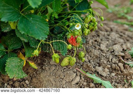 Red And Green Strawberry Berries Among Green Leaves On Dark Ground