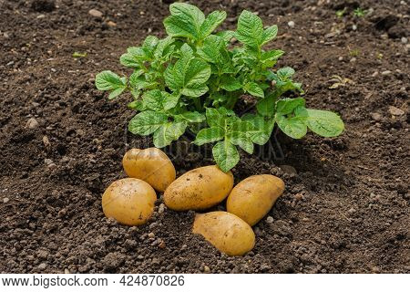 White Potato Tubers And Potato Sprouts On The Background Of The Soil. White Potatoes Are Grown In Th