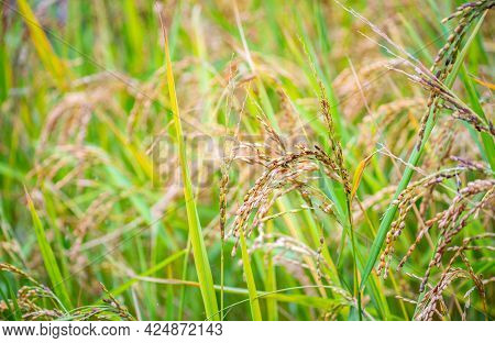 Close Up Of Rice In Paddy Field In Ghandruk Village In Annapurna Sanctuary, Nepal. Rice Is The Major