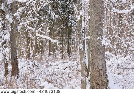 Wintertime Landscape Of Snowy Deciduous Stand With Oak Trees In Foreground, Bialowieza Forest, Polan