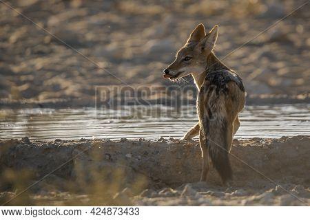 Black Backed Jackal Drinking In Waterhole In Backlit In Kgalagadi Transfrontier Park, South Africa ;