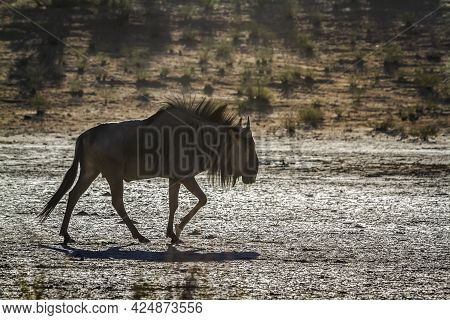 Blue Wildebeest Walking In Dry Land In Backlit In Kgalagadi Transfrontier Park, South Africa ; Speci