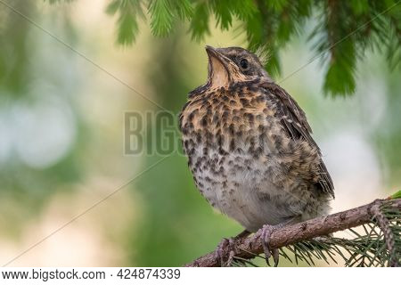 A Fieldfare Chick, Turdus Pilaris, Has Left The Nest And Is Sitting On A Branch. A Chick Of Fieldfar