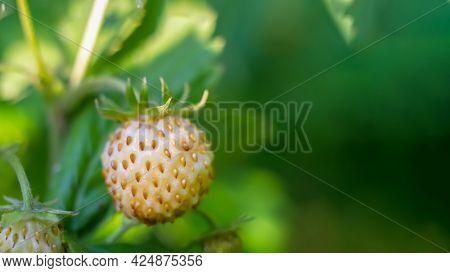 White Strawberry Pineberry Close-up On A Bush Among The Foliage. Copy Space.