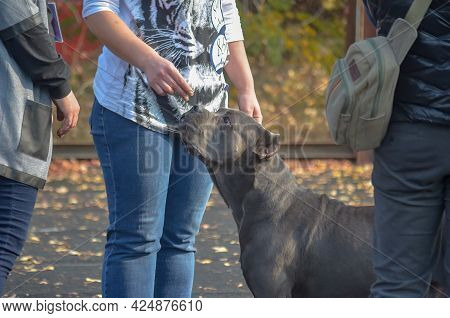 Woman Gives A Sniff Of A Treat To A Gray Pet Outside. Dog Of The Ancient Italian Cane Corso Breed Wi