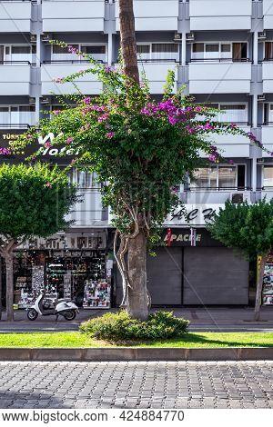 Alanya, Turkey - October 23, 2020: A Flowering Bougainvillea Tree Intertwined Around A Palm Tree Tru