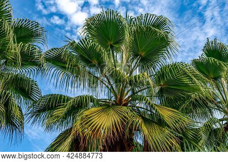 Green - Blue Palm Foliage Texture With Fan Leaves Isolated On Sky Background. Bottom View Of The Top