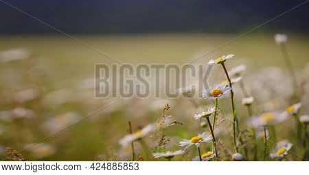Daisies In Sunny Spring Garden, Beautiful Outdoor Floral Background Photographed With Selective Focu