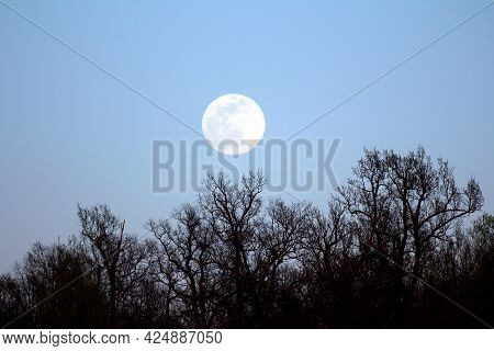 Clearly Visible Large Full Moon On Clear Sky Background Rising Above Dense Trees Without Leaves At L