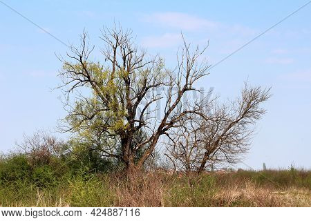 Creepy Old Strange Looking Large Trees With Multiple Dry Branches Without Leaves Surrounded With Hig