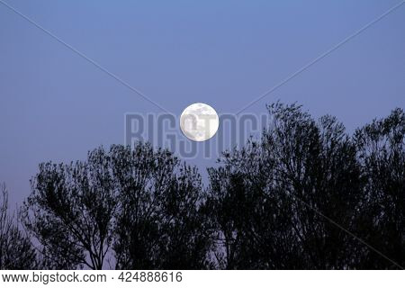 Visible Large Full Moon On Clear Sky Background Rising Above Dense Trees Without Leaves Silhouettes