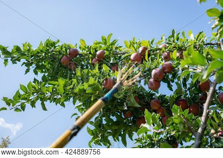 Fruit Catcher Gather Apples From The Tree In The Gadren