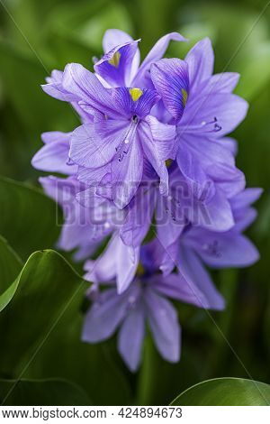Closeup View Of Blooming Water Hyacinths Growing In A Natural Swamp. Selective Focus