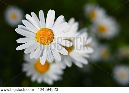 Chamomile Flower On A Green Meadow. Daisies, Dox-eye Flower, Common Daisy, Dog Daisy Or Moon Daisy