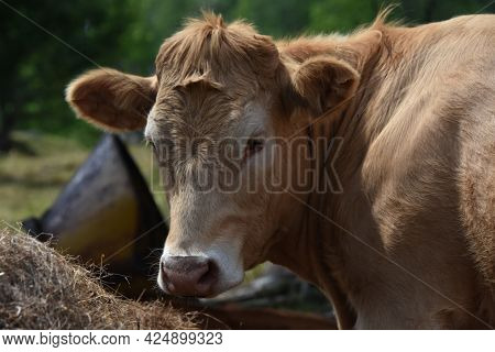Pretty Cow In A Quebec Farm In The Canadian Coutryside
